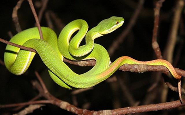 Kịp thời cứu sống 2 bệnh nhi bị rắn lục đuôi đỏ cắn