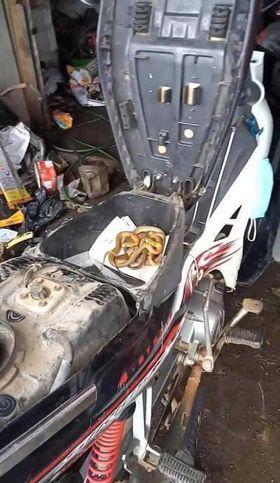 Rùng mình thấy nguyên đàn rắn cuộn tròn trong cốp khi đi sửa xe máy sau đợt mưa lũ ở Quảng Trị