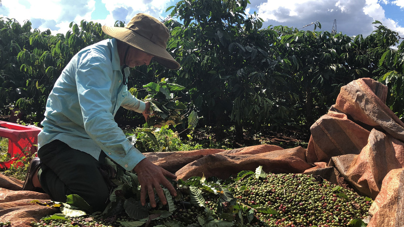 Giá cà phê tăng cao, nông dân tất bật thu hái, chả cần phơi khô thương lái đã chờ mua sẵn