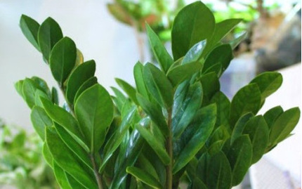 Loại cây nhiều người nghĩ trồng trong nhà 'hút lộc' nhưng thực tế cực độc nếu ăn phải