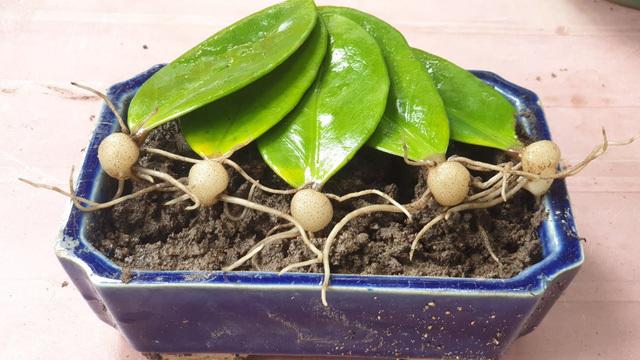 Loại cây nhiều người nghĩ trồng trong nhà hút lộc nhưng thực tế cực độc nếu ăn phải