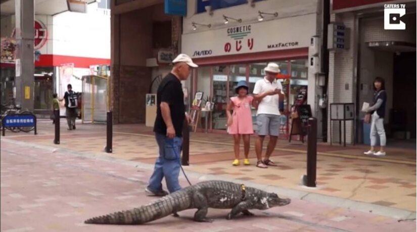 Người đàn ông nuôi cá sấu khổng lồ như thú cưng gần 40 năm.3