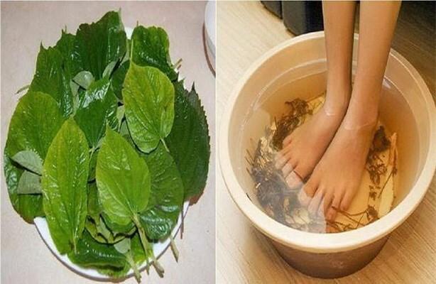 Lá lốt là vị thuốc tốt trị đau lưng, sưng khớp gối, bàn chân tê buốt