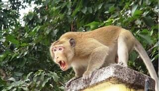 Đàn khỉ tấn công học sinh để cướp thức ăn, nhiều em bị thương