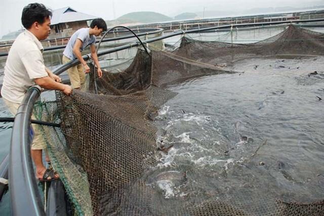 Cá tầm Trung Quốc 'đội lốt' cá tầm Việt tràn ngập thị trường: Do lỗ hổng quản lý?