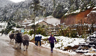 Lào Cai: Tuyết rơi phủ trắng nhiều nơi, trâu, bò chết rét, nông dân thiệt hại hàng tỷ đồng