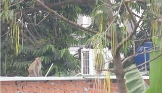 TPHCM sẽ bắn thuốc gây mê để bắt đàn khỉ hoang