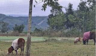 Thừa Thiên Huế: Gần 500 con trâu bò chết vì rét