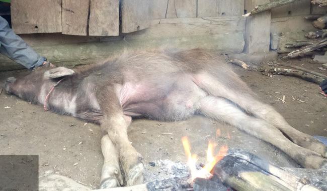 Sau vụ hơn 900 gia súc một huyện chết rét: Xử lý người đứng đầu chính quyền cơ sở