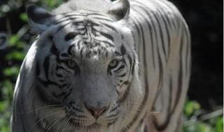 Indonesia: Bắt sống hổ Bengal sổng chuồng, giết chết nhân viên vườn thú