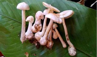 Ăn 10 cây nấm dại, cả nhà 4 người ngộ độc nặng