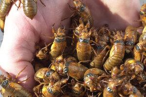 Mỹ: Hàng tỷ con côn trùng