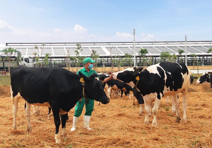 Đàn bò sữa hơn 2.100 con được Vinamilk nhập về từ Mỹ có gì đặc biệt