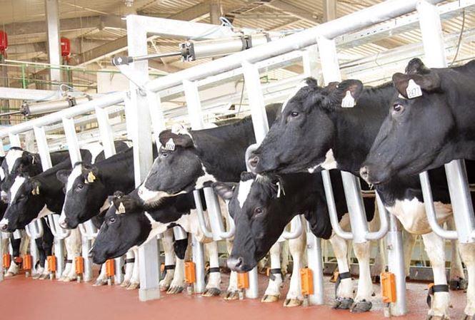Bò sữa ở Việt Nam, hậu trường quy trình chăn nuôi cầu kỳ và tỉ mỉ đáng ngạc nhiên