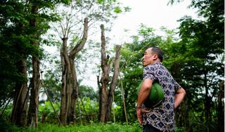 Hàng cây cổ thụ đường Kim Mã sau 5 năm đánh chuyển: Sống dở, chết dở, không ai chăm sóc