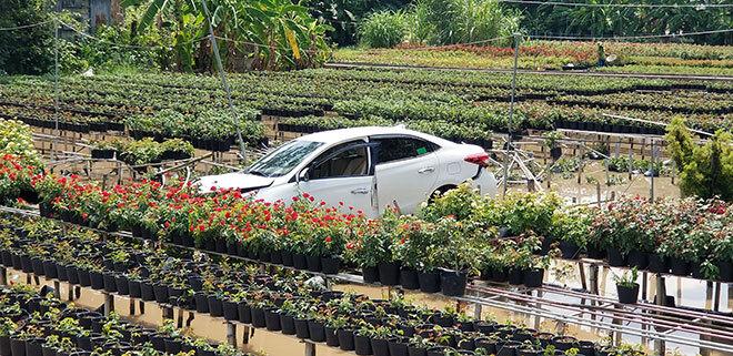 Ô tô 4 chỗ lao xuống giữa ruộng hoa hồng, tài xế bỏ xe đi luôn
