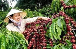 Việt Nam bán cà phê cho thế giới với giá cao nhất trong 3 năm trở lại đây, chỉ giảm ở Trung Quốc