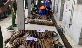 Vụ 'giải cứu' 17 con hổ nuôi nhốt trong khu dân cư: 8 con hổ đã chết