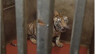 Bắt tạm giam người nuôi cả đàn hổ trái phép trong nhà ở Nghệ An