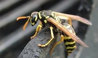 Trèo cây hái nhãn, bé gái 6 tuổi bị ong vò vẽ đốt tử vong