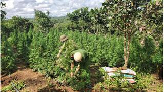 Đắk Lắk: Phát hiện 2 vụ trồng cần sa quy mô lớn để... cho gà ăn