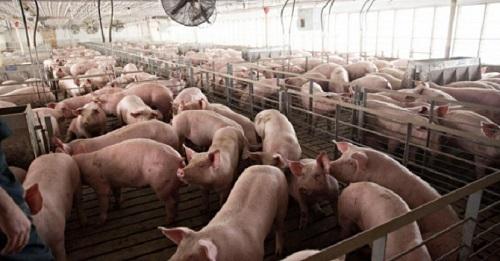 Giá heo hơi giảm mạnh xuống dưới mức 40.000 đồng/kg, giá thịt vẫn đứng yên