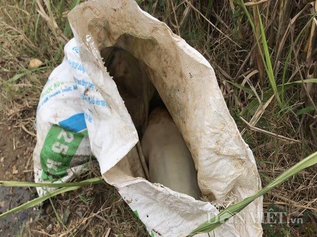 Phú Thọ: Lợn chết vứt đầy đường, bốc mùi hôi thối ngay ổ dịch LMLM