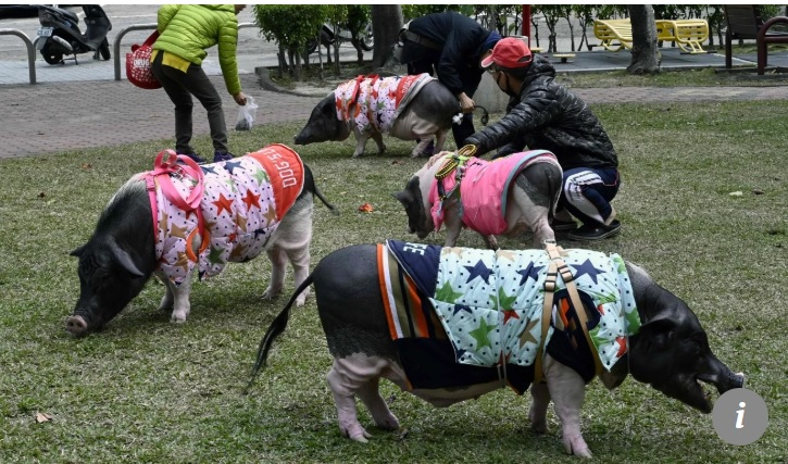 """Đối với cô Jenny Tsai, năm nào cũng là năm con lợn.  Nhà thiết kế trang web Tsai sống ở thành phố Đài Trung, Đài Loan, cùng một người bạn và 4 chú lợn.  Tsai nói rằng lợn của cô rất thông minh. Chúng biết mở tủ lạnh và được dắt đi dạo bằng dây như chó.  """"Lợn rất tình cảm"""", cô nói. """"Khi tôi bị bệnh, chúng ở bên cạnh tôi và giúp tôi bớt cô đơn. Nhưng bạn có thể giả vờ bị ốm và khi phát hiện ra, chúng sẽ phá quấy"""".  Đối với cô Jenny Tsai, năm nào cũng là năm con lợn. Tsai nói rằng lợn của cô rất thông minh  Người phụ nữ 43 tuổi bắt đầu nuôi lợn làm thú cưng cách đây 12 năm. Lúc đó, cô được gia đình tặng cho chú lợn con Du Du, giờ phát triển thành một con lợn nặng 65 kg.  """"Khi chú lợn hàng xóm nhà tôi sinh con, tôi ghé qua xem lợn mỗi ngày và sau đó, bố và anh trai tôi mua cho tôi một con"""", cô kể.  Trong những năm qua, Tsai nuôi thêm 6 con lợn bị bỏ rơi hoặc được cho, 3 trong số đó đã chết.  Bốn con lợn còn lại sống một cuộc sống xa hoa dưới sự chăm sóc của Tsai. Chúng ngủ trong căn phòng lớn nhất trong căn hộ nhỏ của cô trong khi Tsai và bạn cùng phòng ngủ trong phòng ngủ nhỏ.   tet ky hoi: gap nguoi phu nu song cung 4 chu lon khong lo o dai loan hinh anh 2  4 chú lợn được Tsai dắt đi dạo  Mỗi con lợn đều có chăn, quần áo, bát và dây xích riêng.  Nhưng việc nuôi lợn không phải là nhiệm vụ dễ dàng. Tsai từng nuôi một con lợn 5 ngày tuổi cần bú bình mỗi 4 giờ, một con lợn tàn tật được giải cứu từ bãi rác.  """"Lợn rất khó nuôi, chúng có thể phá hoại căn nhà, chúng cắn và ăn rất nhiều"""", Tsai nói.  Không giống chó hay mèo, không có khách sạn thú cưng nào nuôi lợn. Vì thế, chủ nhân """"không thể đi du lịch xa và phải hy sinh rất nhiều"""", cô nói thêm.  Bất chấp những thách thức này, lợn vẫn mang đến cho Tsai nhiều niềm vui.   tet ky hoi: gap nguoi phu nu song cung 4 chu lon khong lo o dai loan hinh anh 3  4 con lợn được ngủ ở phòng to nhất của căn hộ  Nhưng cô lo lắng rằng trong dịp Tết Kỷ Hợi, nhiều lợn sẽ bị bỏ rơi.  Tsai tham gia vận hành hai trang Facebook về nuôi lợn làm vật n"""