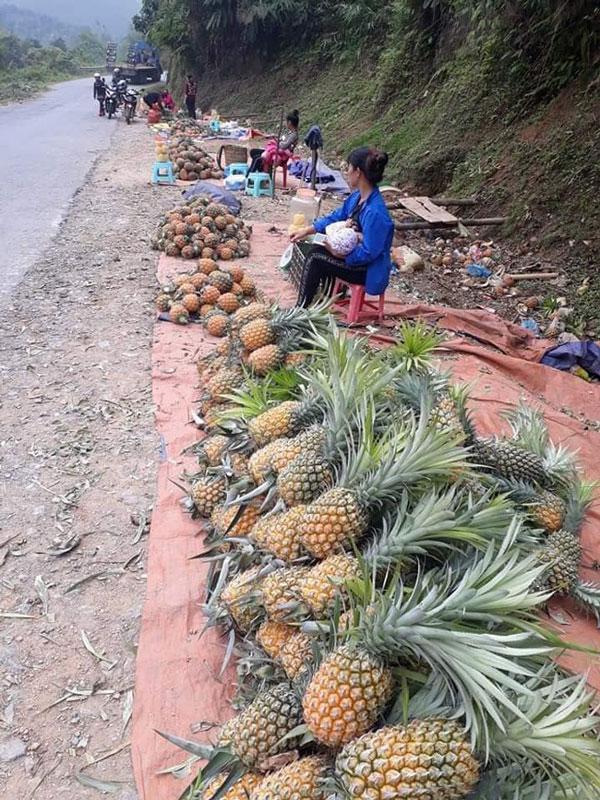 Hàng trăm tấn dứa ở Lào Cai đứng trước nguy cơ vứt cho trâu, bò ăn