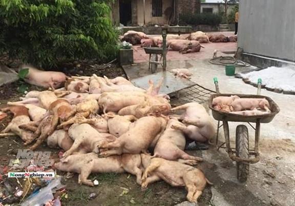 'Vỡ trận' dịch tả lợn châu Phi: Cục Thú y đang 'giấu' thông tin?