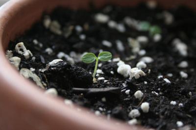Bước 4 trong cách trồng cây kiwi