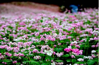 Rủ nhau đi ngắm cánh đồng hoa tam giác mạch đẹp đến nao lòng